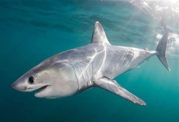 Виды-акул-Описание-названия-и-особенности-видов-акул-38