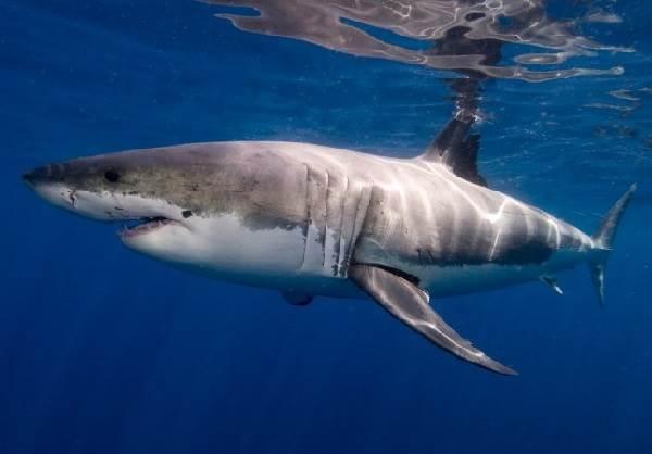 Виды-акул-Описание-названия-и-особенности-видов-акул-5