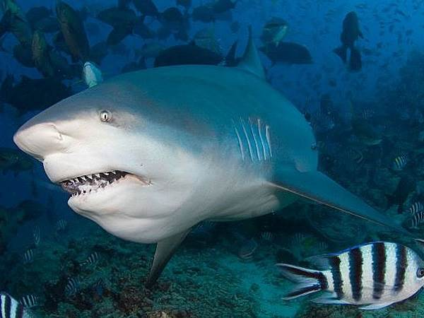Виды-акул-Описание-названия-и-особенности-видов-акул-7