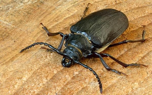Жук-дровосек-Описание-особенности-виды-и-среда-обитания-жука-дровосека-1