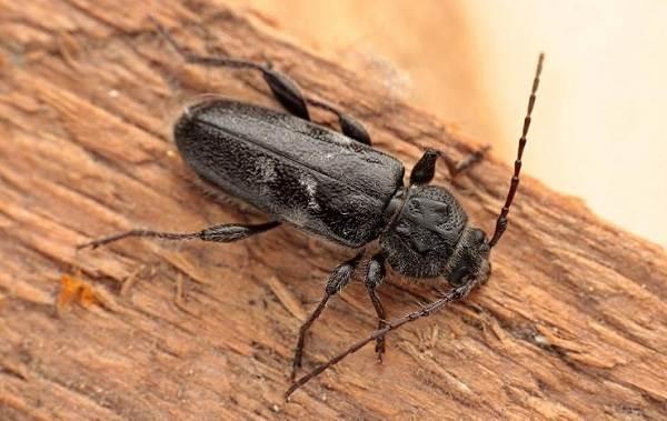 Жук-дровосек-Описание-особенности-виды-и-среда-обитания-жука-дровосека-10