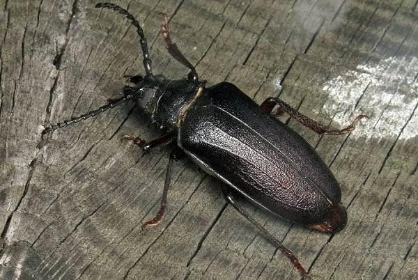 Жук-дровосек-Описание-особенности-виды-и-среда-обитания-жука-дровосека-11