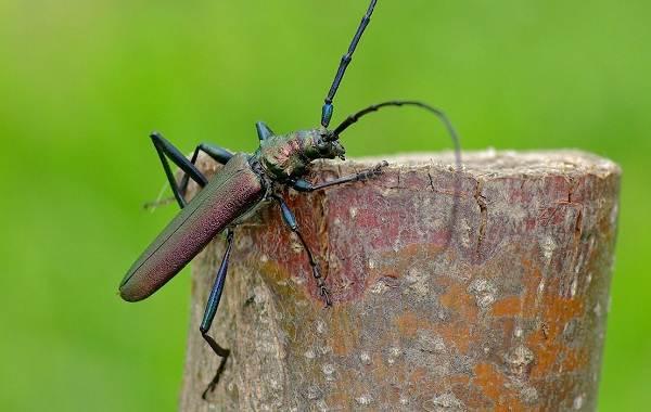 Жук-дровосек-Описание-особенности-виды-и-среда-обитания-жука-дровосека-13