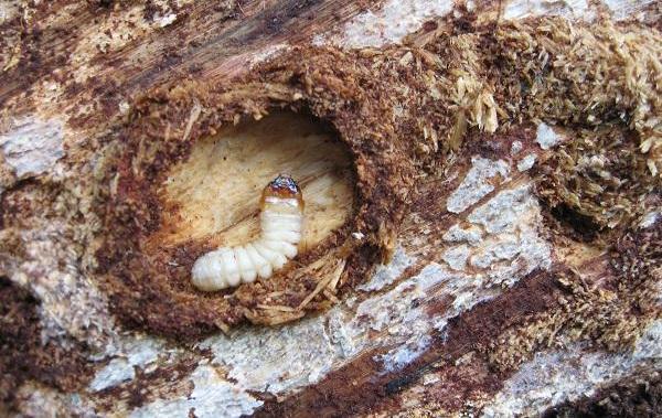 Жук-дровосек-Описание-особенности-виды-и-среда-обитания-жука-дровосека-16