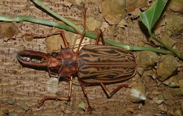 Жук-дровосек-Описание-особенности-виды-и-среда-обитания-жука-дровосека-6