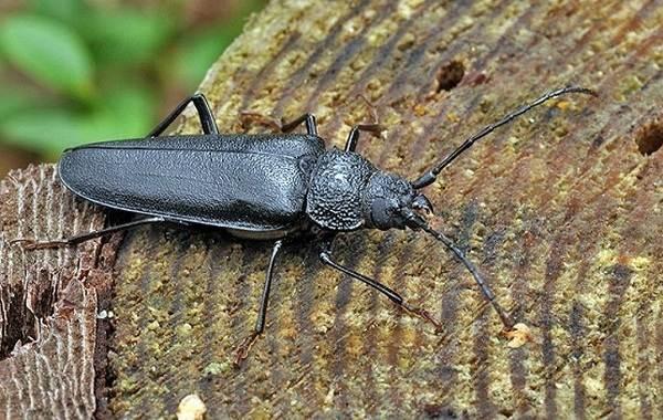 Жук-дровосек-Описание-особенности-виды-и-среда-обитания-жука-дровосека-7