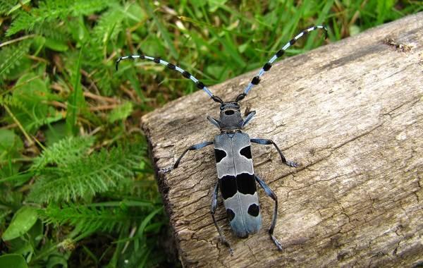 Жук-дровосек-Описание-особенности-виды-и-среда-обитания-жука-дровосека-9