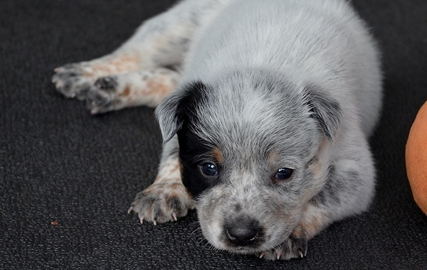 Австралийский-хилер-собака-Описание-особенности-цена-и-уход-за-породой-австралийский-хилер-18