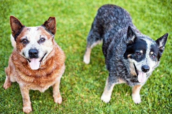 Австралийский-хилер-собака-Описание-особенности-цена-и-уход-за-породой-австралийский-хилер-19