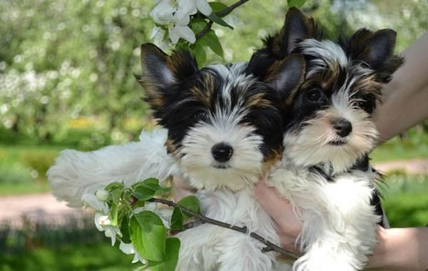 Бивер-йорк-собака-Описание-особенности-цена-и-уход-за-породой-бивер-йорк-10