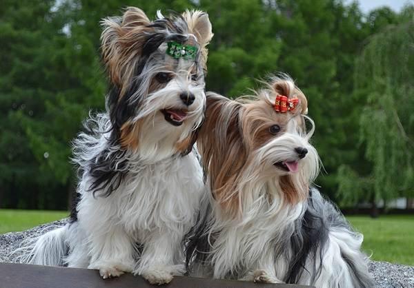 Бивер-йорк-собака-Описание-особенности-цена-и-уход-за-породой-бивер-йорк-11