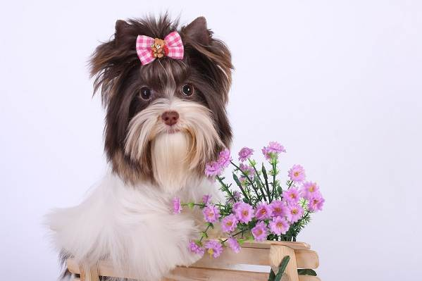Бивер-йорк-собака-Описание-особенности-цена-и-уход-за-породой-бивер-йорк-12
