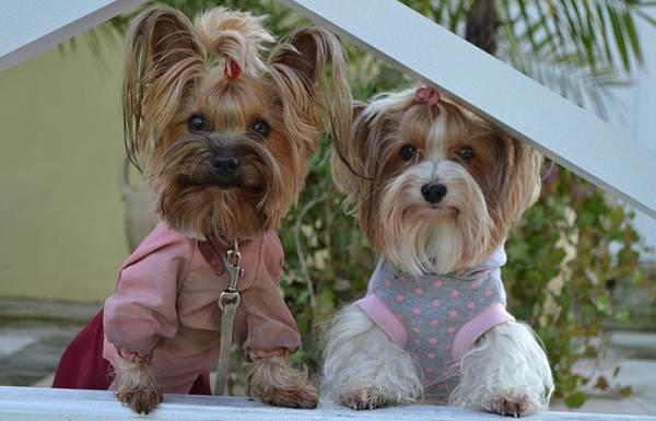 Бивер-йорк-собака-Описание-особенности-цена-и-уход-за-породой-бивер-йорк-13