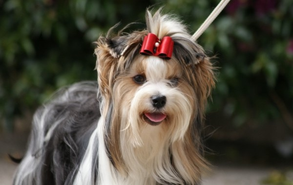 Бивер-йорк-собака-Описание-особенности-цена-и-уход-за-породой-бивер-йорк-14