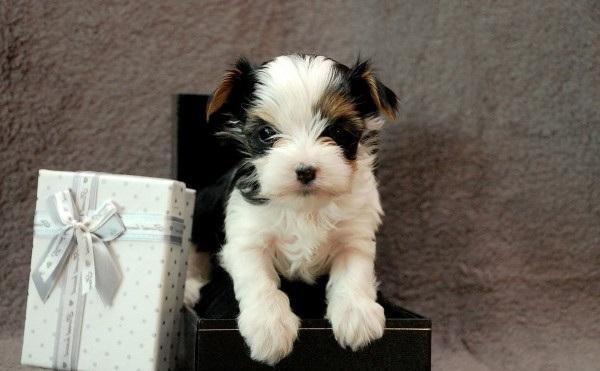 Бивер-йорк-собака-Описание-особенности-цена-и-уход-за-породой-бивер-йорк-15