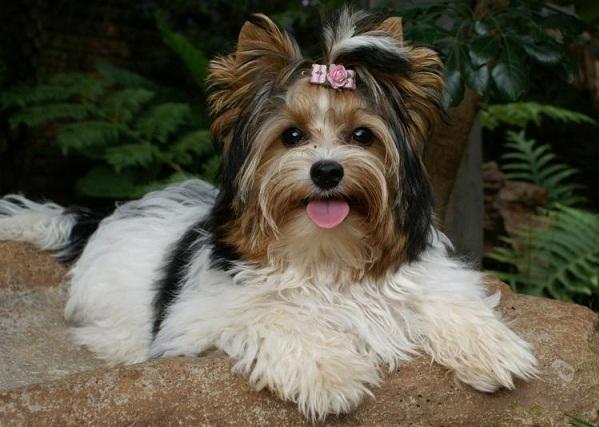Бивер-йорк-собака-Описание-особенности-цена-и-уход-за-породой-бивер-йорк-16