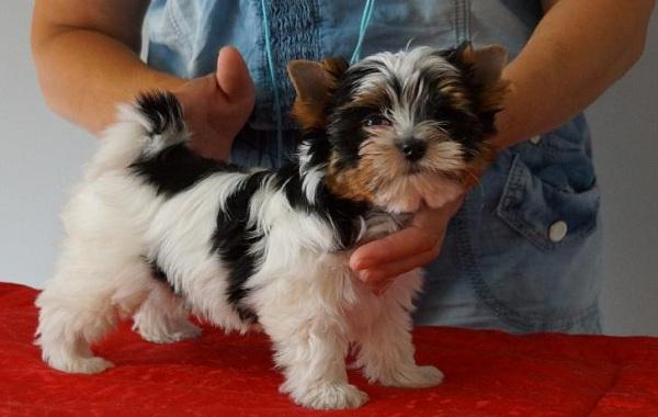 Бивер-йорк-собака-Описание-особенности-цена-и-уход-за-породой-бивер-йорк-17