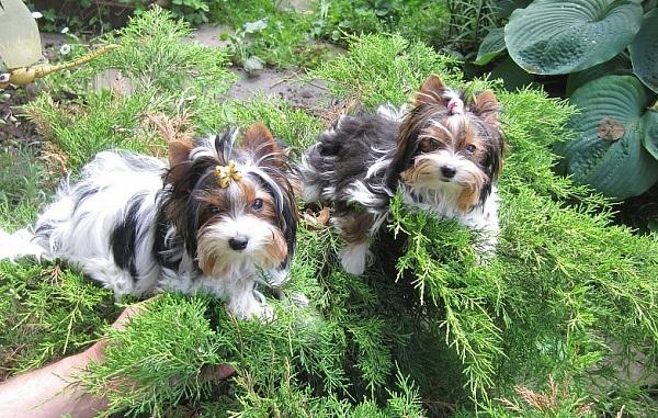 Бивер-йорк-собака-Описание-особенности-цена-и-уход-за-породой-бивер-йорк-18