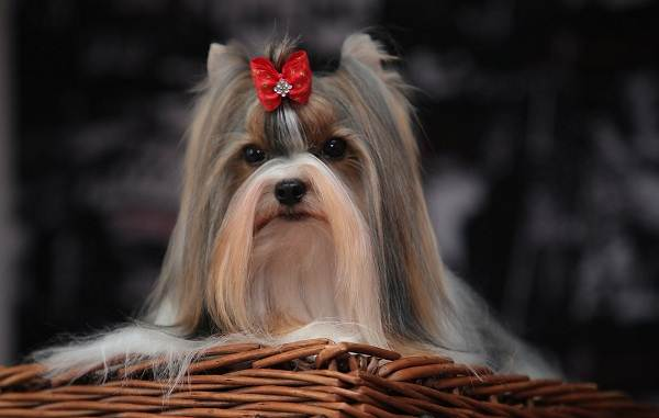 Бивер-йорк-собака-Описание-особенности-цена-и-уход-за-породой-бивер-йорк-2