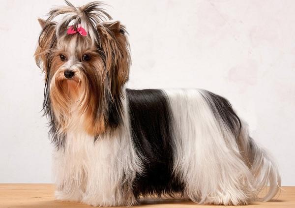 Бивер-йорк-собака-Описание-особенности-цена-и-уход-за-породой-бивер-йорк-20