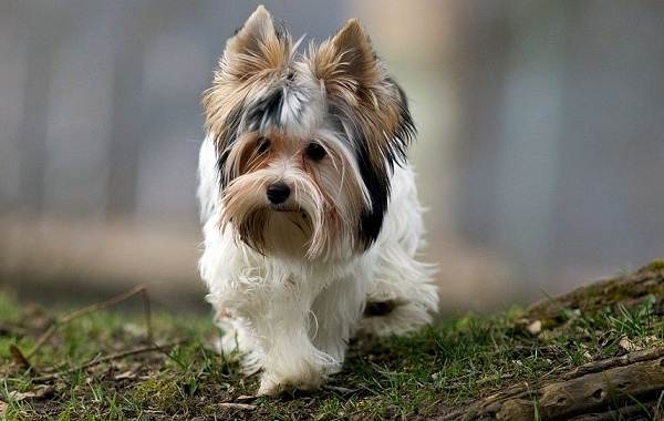 Бивер-йорк-собака-Описание-особенности-цена-и-уход-за-породой-бивер-йорк-3