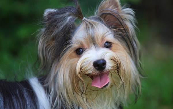 Бивер-йорк-собака-Описание-особенности-цена-и-уход-за-породой-бивер-йорк-7