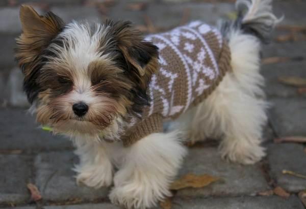 Бивер-йорк-собака-Описание-особенности-цена-и-уход-за-породой-бивер-йорк-8