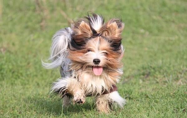 Бивер-йорк-собака-Описание-особенности-цена-и-уход-за-породой-бивер-йорк-9