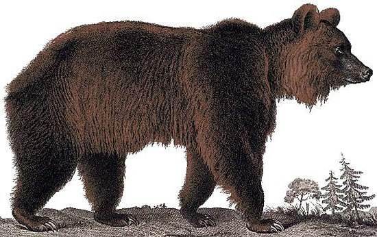 Бурый-медведь-животное-Описание-особенности-образ-жизни-и-среда-обитания-бурого-медведя-10