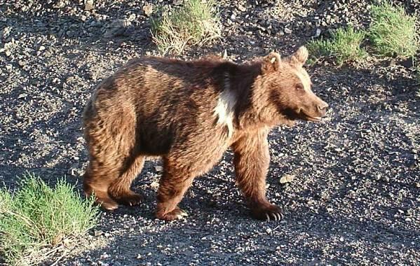 Бурый-медведь-животное-Описание-особенности-образ-жизни-и-среда-обитания-бурого-медведя-11