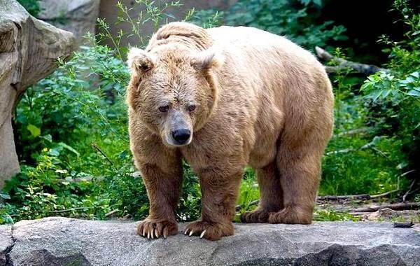 Бурый-медведь-животное-Описание-особенности-образ-жизни-и-среда-обитания-бурого-медведя-13