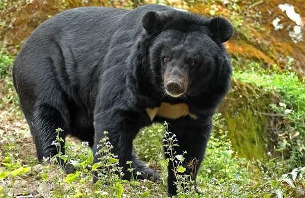 Бурый-медведь-животное-Описание-особенности-образ-жизни-и-среда-обитания-бурого-медведя-14