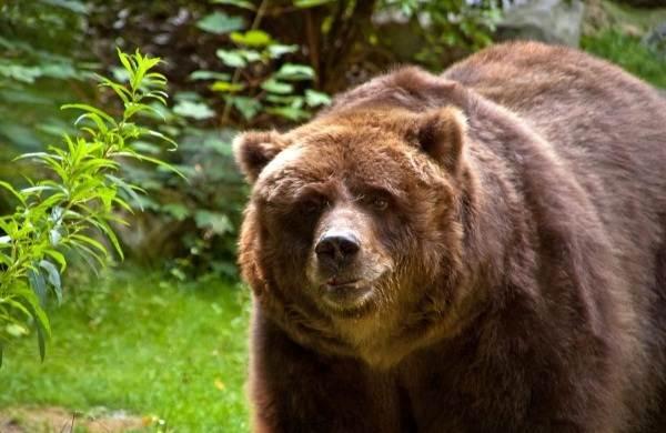 Бурый-медведь-животное-Описание-особенности-образ-жизни-и-среда-обитания-бурого-медведя-15