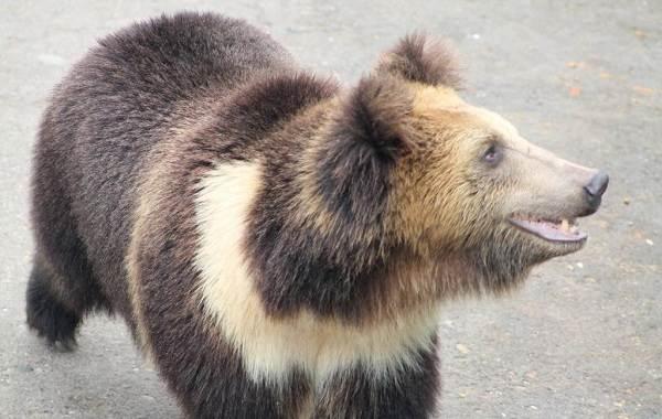 Бурый-медведь-животное-Описание-особенности-образ-жизни-и-среда-обитания-бурого-медведя-17