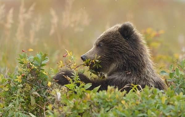 Бурый-медведь-животное-Описание-особенности-образ-жизни-и-среда-обитания-бурого-медведя-18