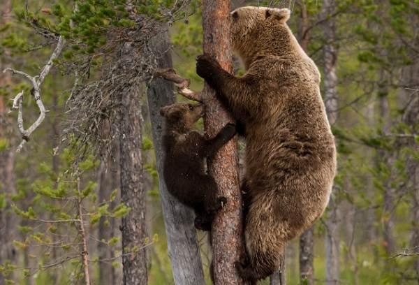 Бурый-медведь-животное-Описание-особенности-образ-жизни-и-среда-обитания-бурого-медведя-19