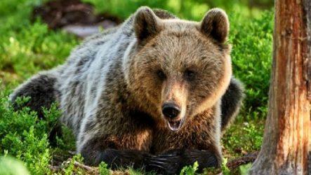 Бурый медведь животное. Описание, особенности, образ жизни и среда обитания бурого медведя