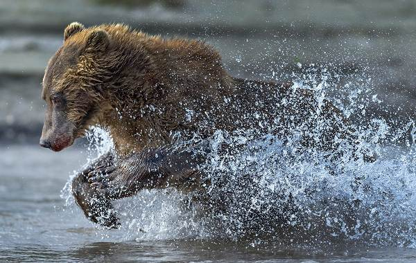 Бурый-медведь-животное-Описание-особенности-образ-жизни-и-среда-обитания-бурого-медведя-20
