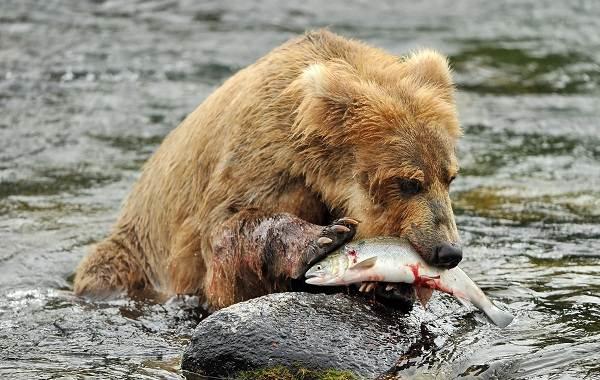 Бурый-медведь-животное-Описание-особенности-образ-жизни-и-среда-обитания-бурого-медведя-21