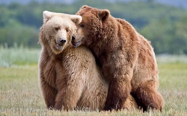 Бурый-медведь-животное-Описание-особенности-образ-жизни-и-среда-обитания-бурого-медведя-22