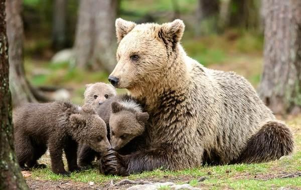 Бурый-медведь-животное-Описание-особенности-образ-жизни-и-среда-обитания-бурого-медведя-23