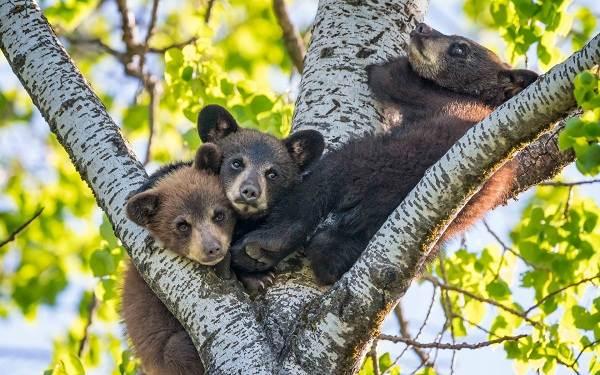 Бурый-медведь-животное-Описание-особенности-образ-жизни-и-среда-обитания-бурого-медведя-24