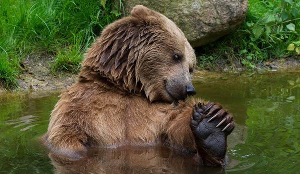 Бурый-медведь-животное-Описание-особенности-образ-жизни-и-среда-обитания-бурого-медведя-3