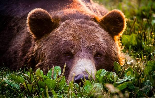 Бурый-медведь-животное-Описание-особенности-образ-жизни-и-среда-обитания-бурого-медведя-4