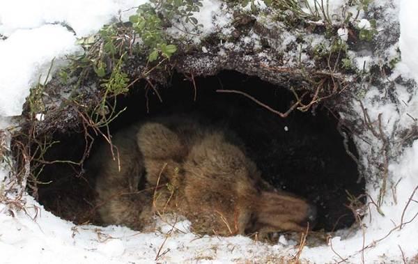 Бурый-медведь-животное-Описание-особенности-образ-жизни-и-среда-обитания-бурого-медведя-5