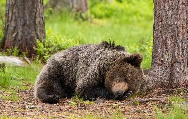 Бурый-медведь-животное-Описание-особенности-образ-жизни-и-среда-обитания-бурого-медведя-6