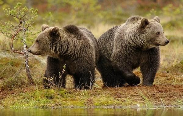 Бурый медведь животное. Описание, особенности, образ жизни ...