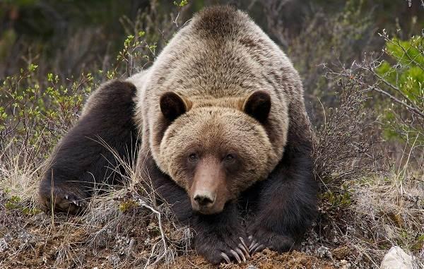 Бурый-медведь-животное-Описание-особенности-образ-жизни-и-среда-обитания-бурого-медведя-8