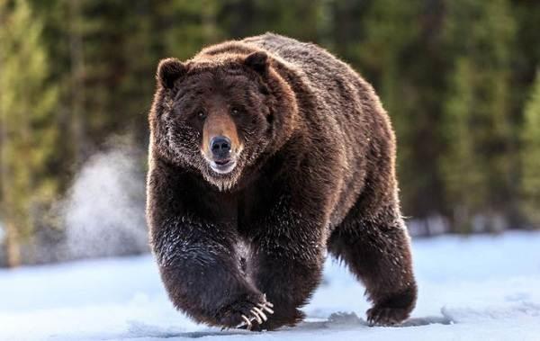 Бурый-медведь-животное-Описание-особенности-образ-жизни-и-среда-обитания-бурого-медведя-9
