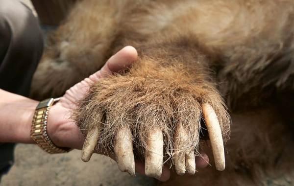 Бурый-медведь-животное-Описание-особенности-образ-жизни-и-среда-обитания-бурого-медведя
